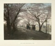 Cherry Flower-Street, at Mukojima, Tokio by Kusakabe Kimbei