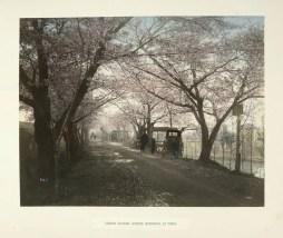 Cherry Flower-Street, at Mukojima, Tokio by Kusakabe Kimbei