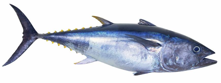 Image result for tuna