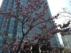 guess what's blooming in early March in Tokyo - the super-early Kawazu-zakura !