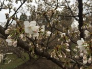 only a few Omuro-zakura trees have started blooming