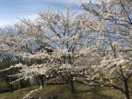 sakuras in nearby park