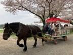 horse carriage - a rare scene in sakura matsuri