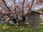 300-yr old Kechimiku-zakura