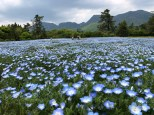 Nemophila with Mt Kuju as backdrop