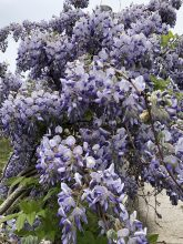 Wisteria with a scent