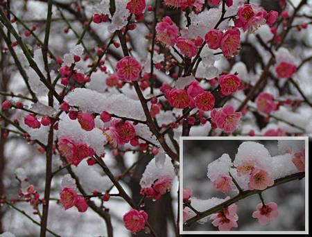 Flores da ameixeira