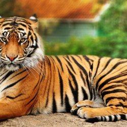 Tiger Excursion