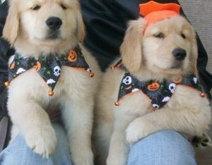 Cute male and female Golden Retriever Puppies