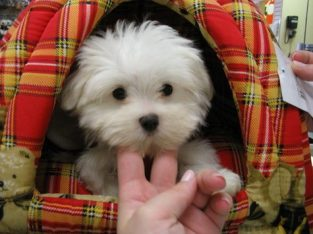 Precious Teacup Maltese puppies available