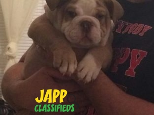 8 Weeks Male English Bulldog Puppy For Sale