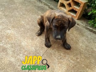Bull Mastiff/Great Dane Puppy For Sale.