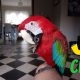 GREEN AND RED WINGED MACAWS