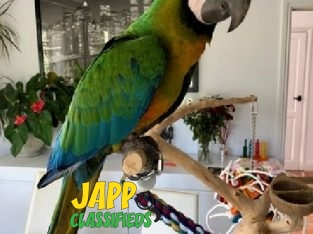 Miligold Baby Hybrid Macaw 6 Months Old, Silly Tam