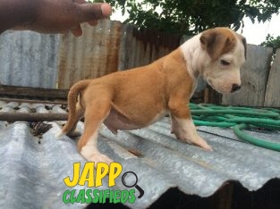 Mix Breed Puppies For Sale. Female 20k Male 12k