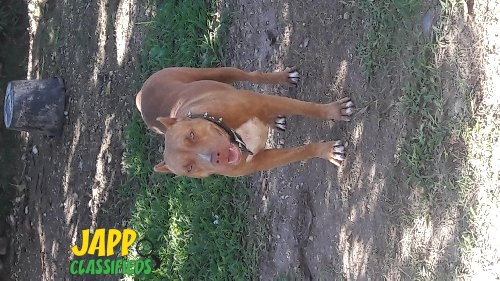 Red Nose Female Pitbull