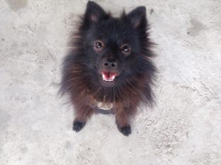 10 MONTH OLD POMERANIAN FOR SALE (BLACK)
