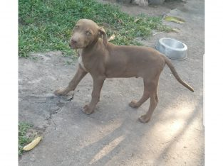 Brown Male Pitbull for sale