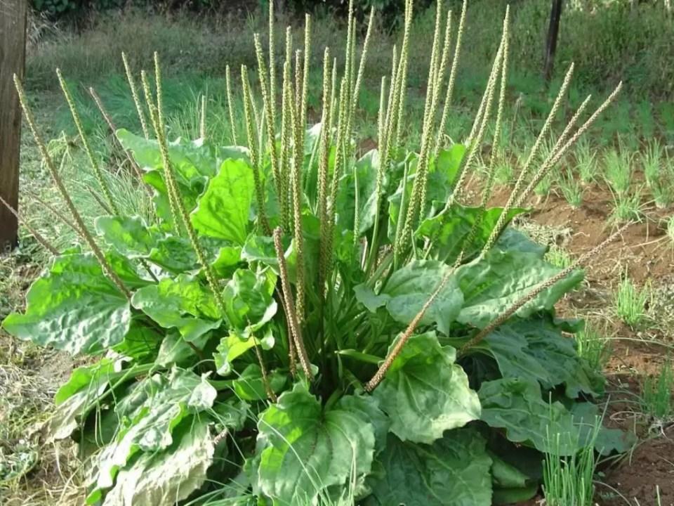 400-sementes-de-tanchagem-plantago-tansagem-21612-MLB20213547669_122014-F