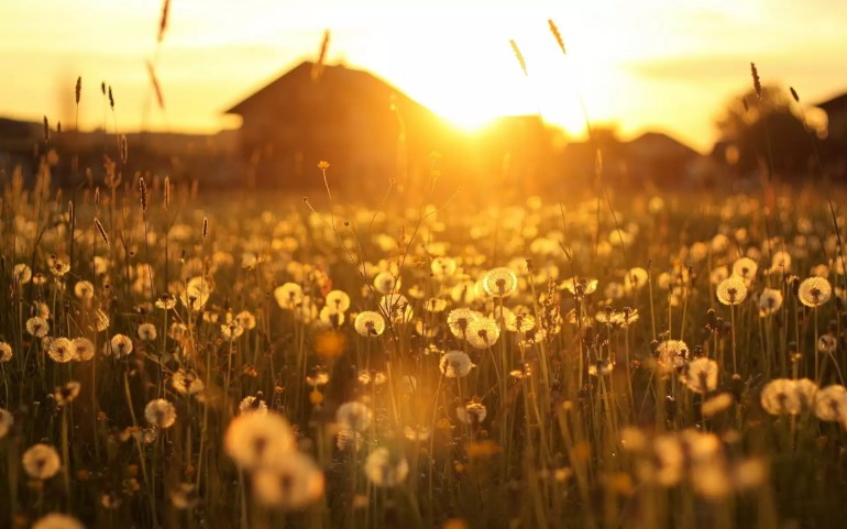 landscape-dandelions-yellow-flowers-house-field-sunset-1920x1200
