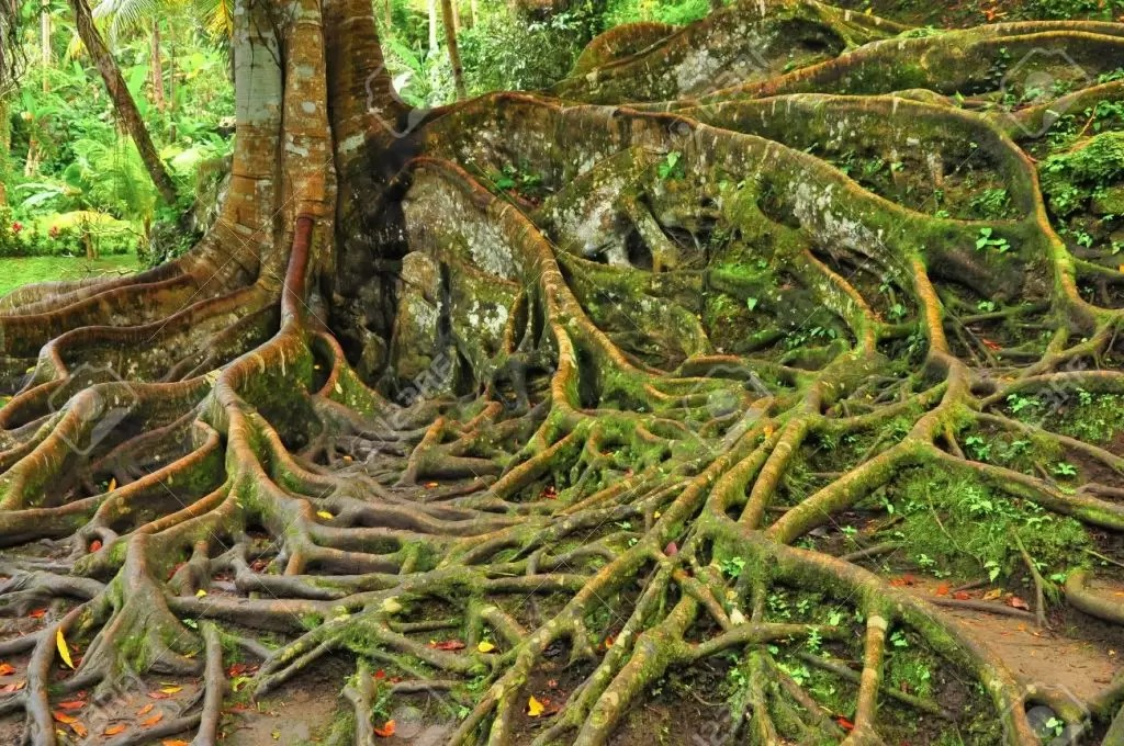 11509927-forest-tree-with-roots-stock-photo