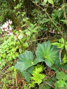 Milieu naturel Bégonia