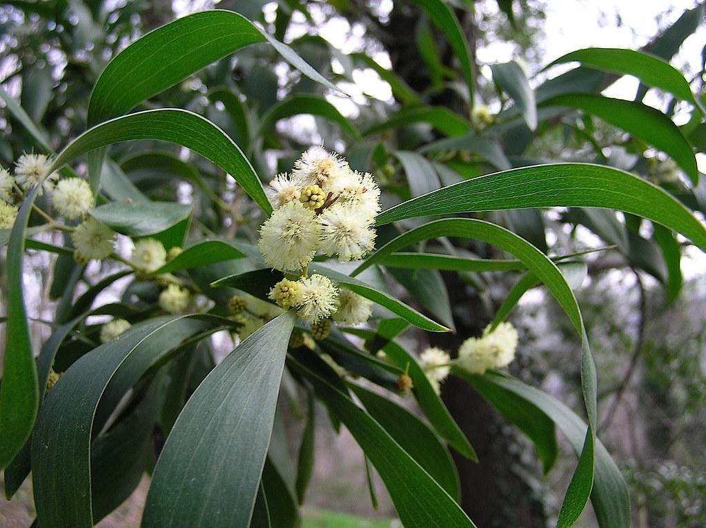 Acacia a bois noir