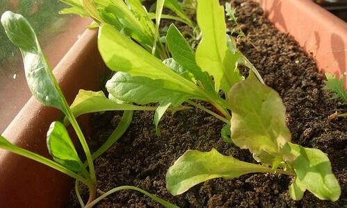 Comment cultiver des salades d'hiver