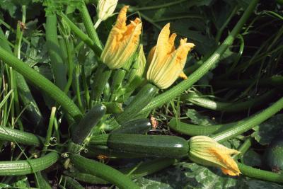 Comment planter des courgettes ?