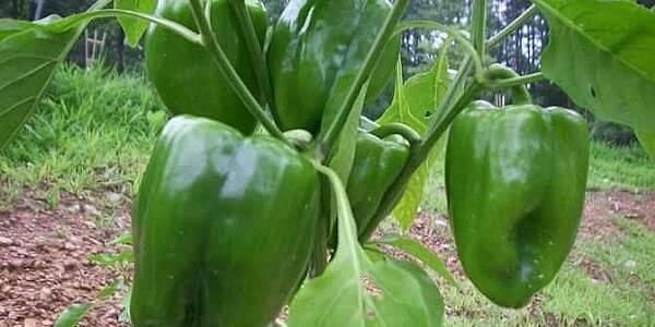 Comment faire pousser du poivron à partir de graines ?