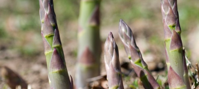 Comment cultiver des asperges