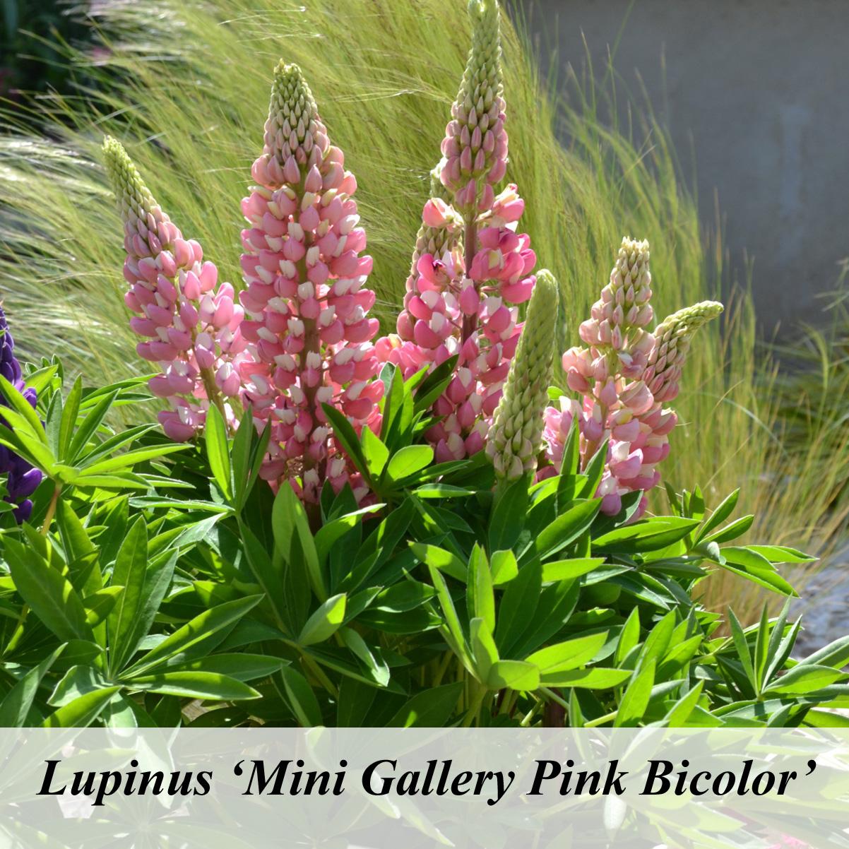 Lupinus mini gallery Pink Bicolor  Lupin  Lupine  Nos vgtaux  Jardin2m