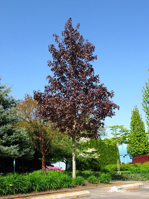Acer truncatum x platanoides Crimson Sunset  rable  Maple  Nos vgtaux  Jardin2m