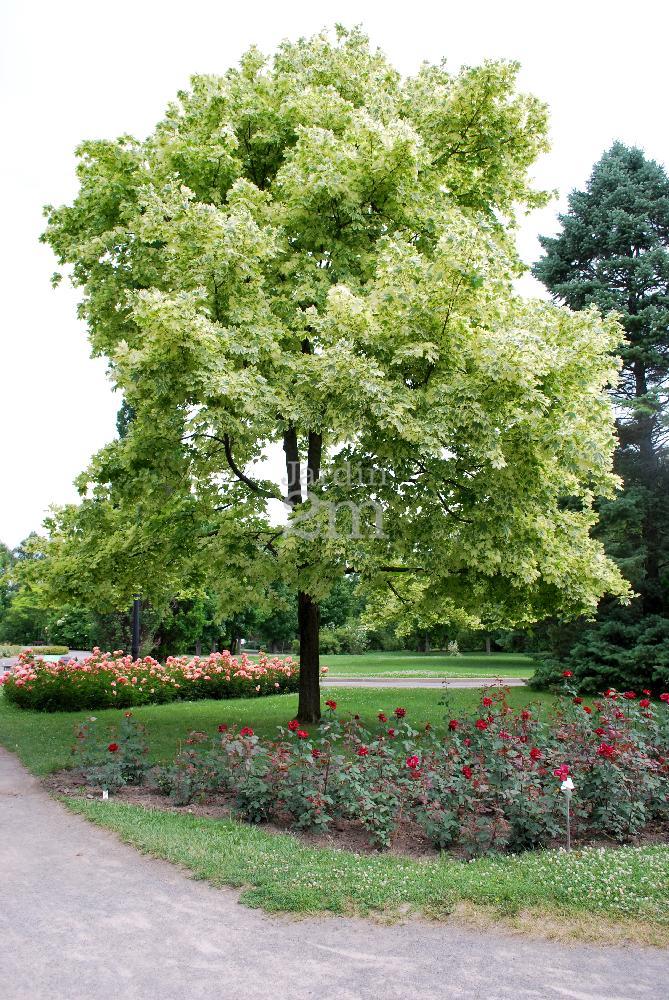 Acer platanoides Drummondii  rable de Norvege Panach  Harlequin Norway Maple  Nos vgtaux