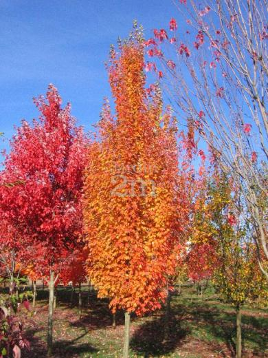 Acer rubrum Armstrong Gold  rable Rouge  Red Maple  Nos vgtaux  Jardin2m