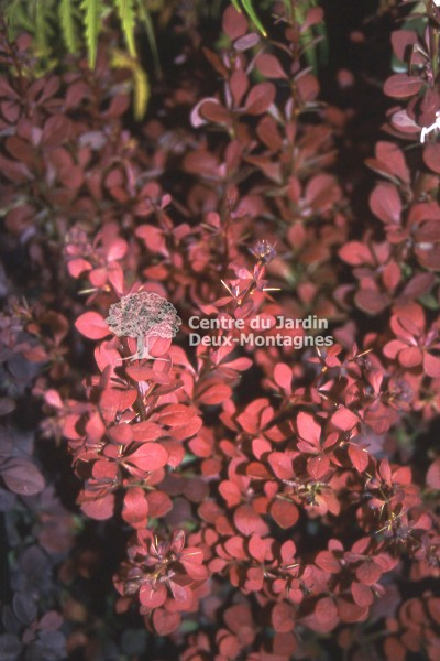 Berberis thunbergii Ruby Carousel bailone  pine Vinette  Japanese Barberry  Nos vgtaux