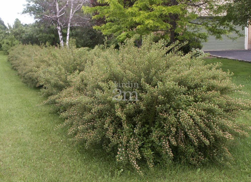 Physocarpus opulifolius Nanus  Physocarpe Nain  Dwarf Common Ninebark  Nos vgtaux  Jardin2m