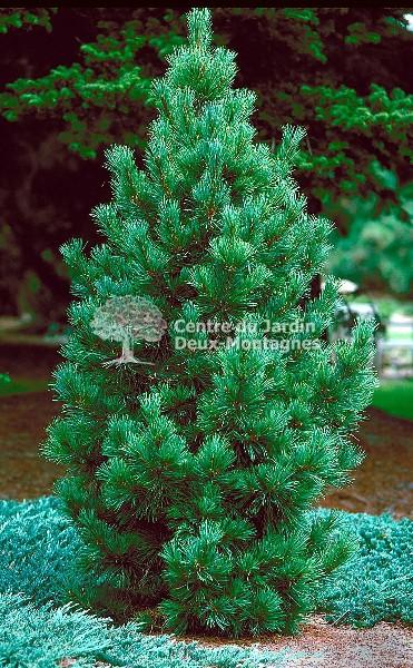 Pinus cembra  Pin Nain des Montagnes  Swiss Stone Pine  Nos vgtaux  Jardin2m