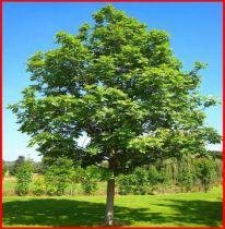 frene commun taille 60 90 cm lot de 20 pieds racines nues