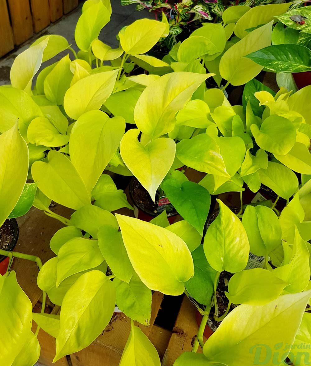 Epipremnum aureum scindapsus  pothos  Jardin Dion