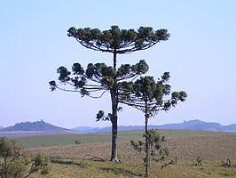 Araucaria angustifolia,