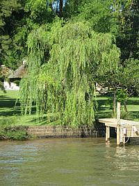 Salix x pendulina,
