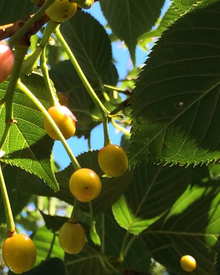 cerisier plantation taille et