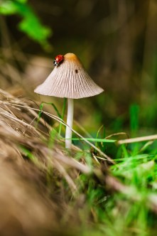 Coccinelle champignon