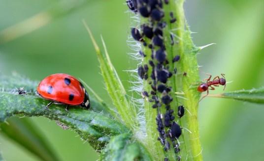 Pucerons, coccinelle et fourmi
