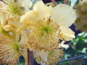 kiwi mâle fleur
