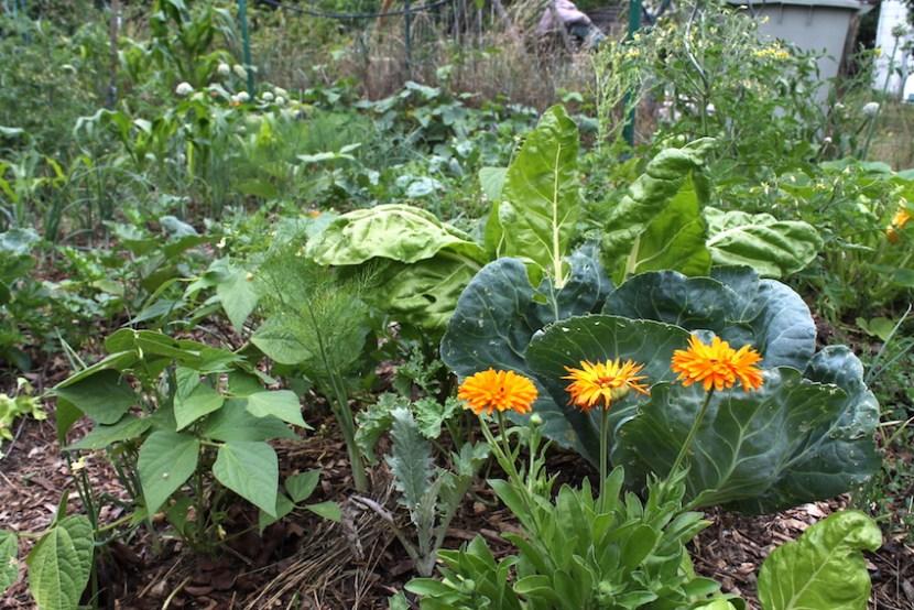 Une association de plantes au jardin potager