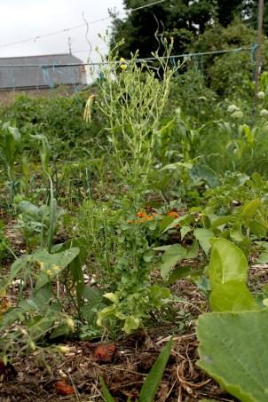 juillet salade en graine du jardin potager sur butte permaculture