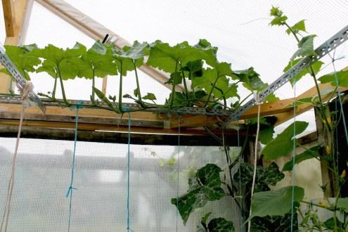 sucrine du berry serre que faire au jardin potager en juillet