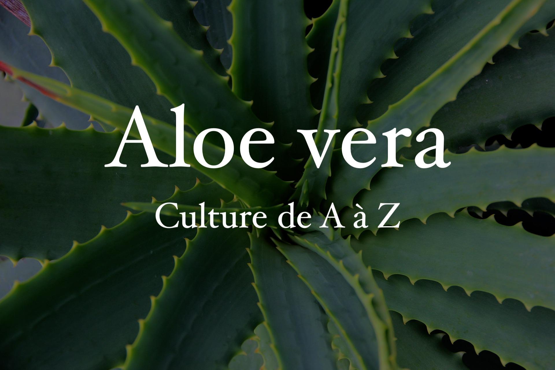 aloe vera : tout sur sa culture et ses vertus - jardiner futé